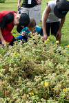 Buffalo bur is a weed. It can produce 8,500 seeds from just one plant. The plant is very prickly, and many of these seeds would become stuck to the shaggy coat of bison, hence its name. Several students examining the prickly nature of buffalobur <i>(Solanum rostratum)</i>, a poisonous weed often found in barnyards and overgrazed pastures.