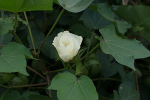 A flower on a cotton plant growing in the crop garden.